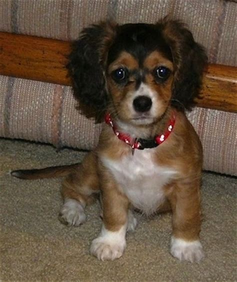 spaniel mix puppies chi spaniel breed information and pictures