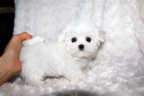 micro teacup maltese puppies for sale micro teacup maltese puppy for sale iheartteacups