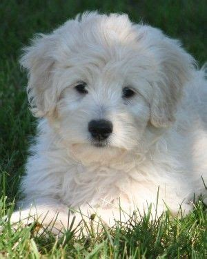goldendoodle puppy care best 25 f1b goldendoodle ideas on