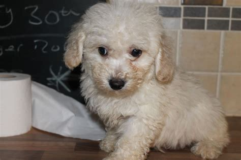 poodle cross lifespan terrier x 3 months 200 posted 1 year