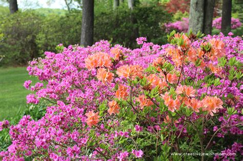 gorgeous flowering bushes in connecticut creative jewish mom