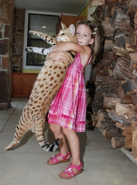 Would a savannah cat get along with a corgi?   IGN Boards