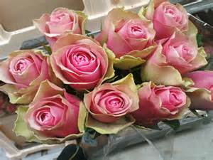 Wholesale Flowers Delivery - rosa grootbloemig belle rose rosa flowers catalog export