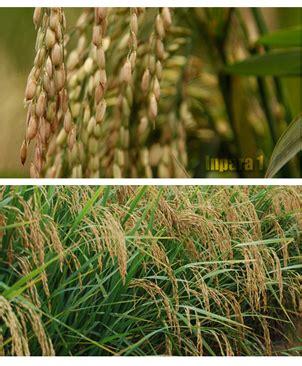 Beras Pera padi dengan tekstur nasi pera kadar amilosa tinggi