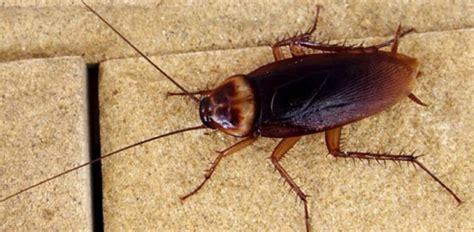 blatte volanti scarafaggi giganti come difendersi senza rischiare la