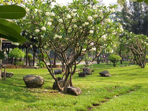 Bibit Sengon Papua tani sejahtera nursery jual pohon kamboja di jayapura