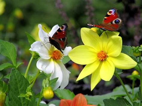 Growing Butterfly Gardens To Attract The Most Different Butterfly Flower Garden