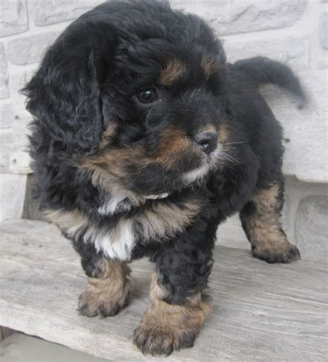 bernese mountain and poodle 96 best images about puppies on hair and