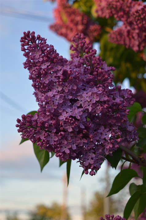 flowers violet lilac wallpapers hd desktop  mobile