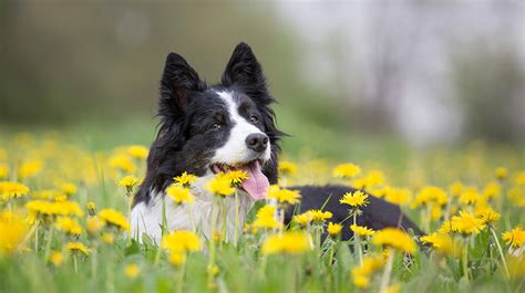 Border Collie Also Search For Border Collies