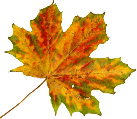 google images autumn leaves fall leaf leaves pinterest