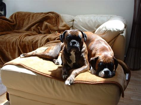 why do dogs sit on your boxer boxer info and health tips