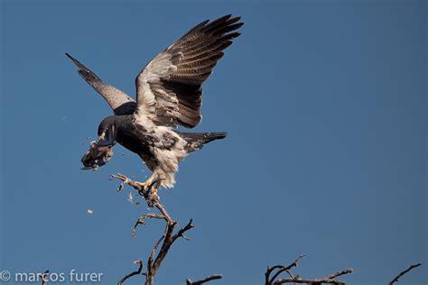 Tree Blinds Bird Hunting Faq S Argentina Dove Hunting Faq S