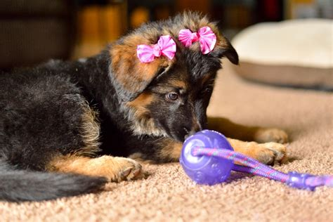 german shepherd puppies cleveland ohio ddr german shepherd breeders in ohio photo