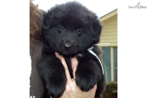 belgian sheepdog puppies for sale belgian sheepdog puppy for sale near hinesville 5be3d797 5731