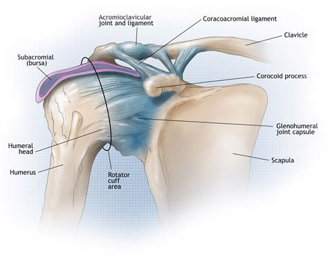 shoulder diagram shoulder joint diagram shoulder joint diagram human