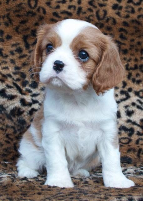 king cavalier puppy best 1232 cavalier king charles spaniel images on animals and pets