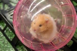 Slideshow: Hamsters racing By Cyndi Murray Wareham, MA Wareham