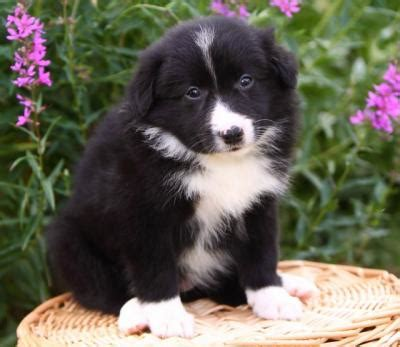 collie puppies for adoption border collie puppies for free adoption
