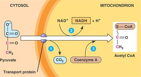 pyruvate oxidation diagram cellular respiration access revision