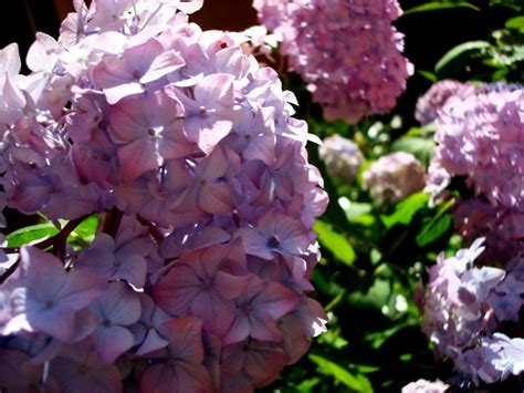 when is the right time to plant hydrangeas garden guides
