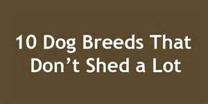Breads That Dont Shed by 10 Breeds That Don T Shed A Lot Doggyzoo