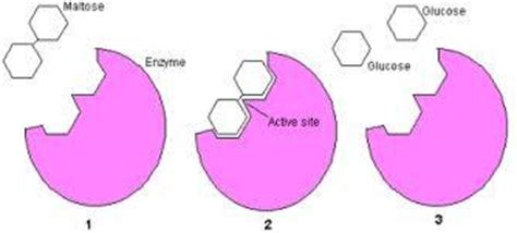 diagram of lactose and lactase reaction interactions lactase