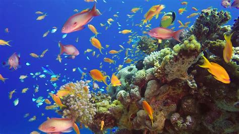 pictures of colorful fish colorful fish on vibrant coral reef sea stock footage