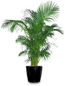 the enchanted petal areca palm