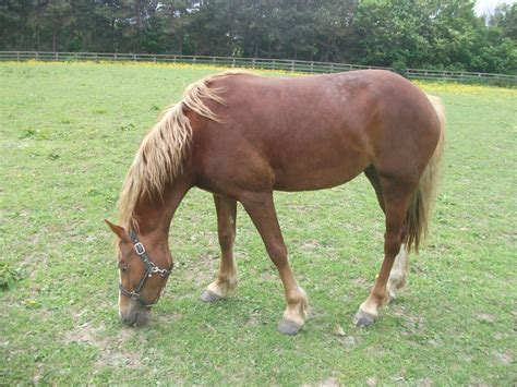 section d welsh cob registered welsh cob section d barnsley south yorkshire