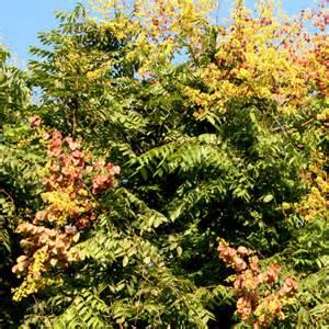Low Light Tropical Plants - koelreuteria bipinnata standard k integrifoliola