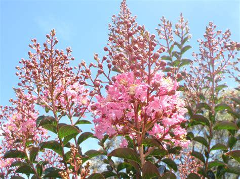 top  trees crepe myrtle indian summer range