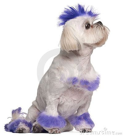 shih tzu mohawk shih tzu with purple mohawk 2 years royalty free stock photography image 20253387