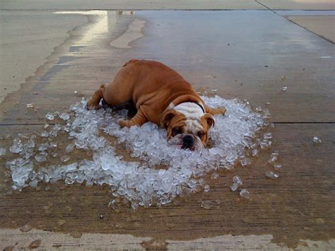 weather puppy in the 187 dogs and weather 17 tips for keeping it cool this summer