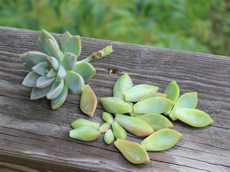how to grow succulents from clippings world of succulents