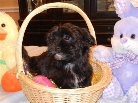 havanese therapy akc havanese pups hypo allergenic companion therapy agi for sale in oregon city