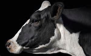 Wallpaper profile cow black white