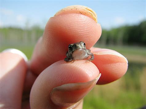 world s smallest worlds smallest frog discovered size of a fly