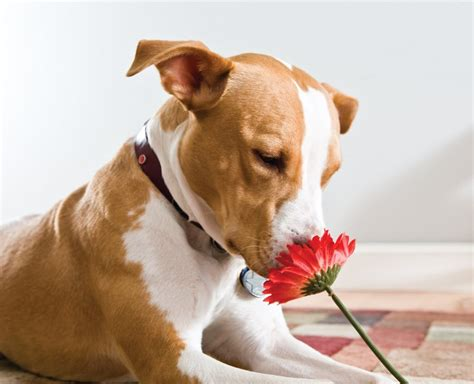 Pit Bull 8 Pit Bull Facts Every Lover Should Rover