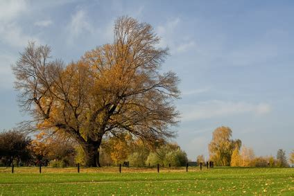 Trees That Shed Leaves by Oak Trees That Shed Their Leaves In Winter Ehow Uk