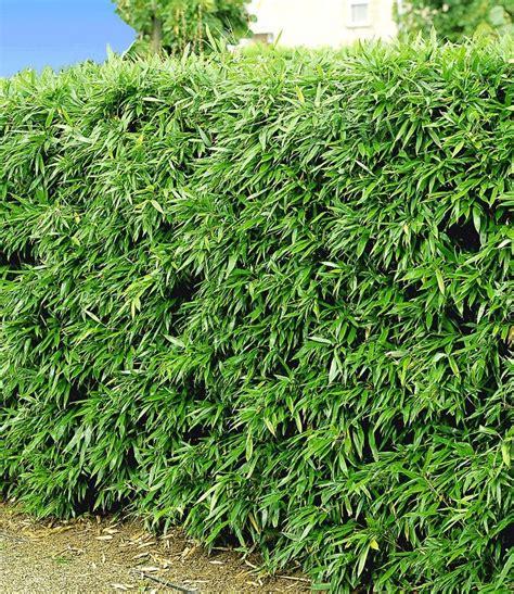 winterharte bepflanzung die besten 17 ideen zu bambus sichtschutz auf