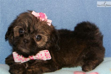 shih poo puppies for sale in missouri shih poo shihpoo puppy for sale near springfield