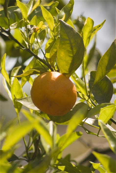 central florida fruit trees what fruit trees grow best in central florida ehow uk