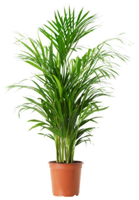 tanaman hias daun palem indoor tanaman hias tanaman hias