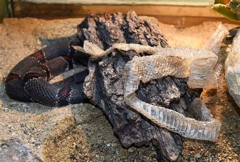 A Snake Shedding Its Skin by What Happens When A Snake Sheds Its Skin