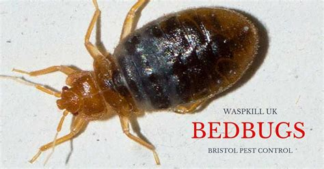 How Bed Bugs Live by How Can Bed Bugs Live