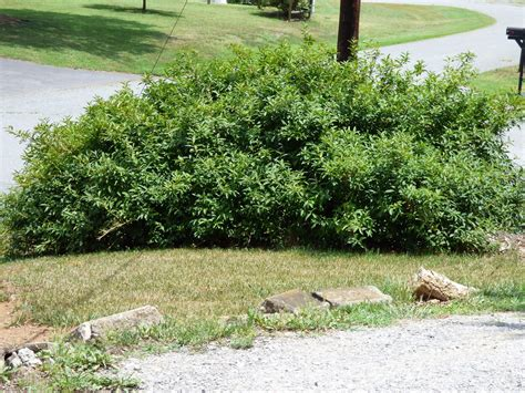 rejuvenating old forsythia shrubs when and how to