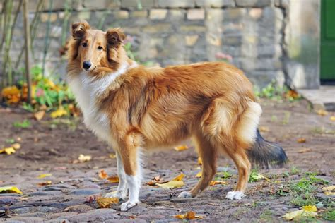 easiest dogs to own the 21 easiest breeds to own
