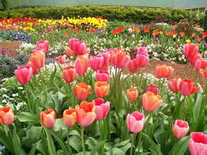 Flower Gardens In California Tulip Garden At Ananda In Nevada City California