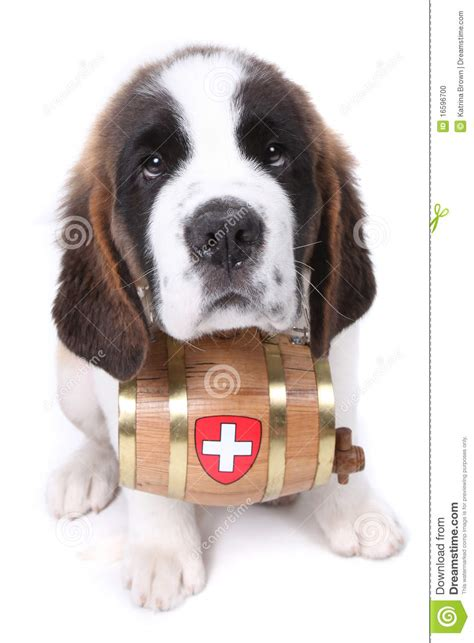 st bernard puppies rescue a bernard puppy with rescue barrel stock photo
